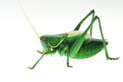 детализируйте katydid Стоковое Изображение RF