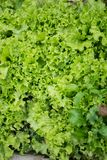 Детали зеленого салата Стоковое Изображение