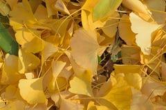 Детали макроса упаденных листьев гинкго осени Стоковые Изображения