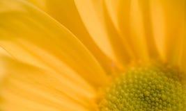 детали маргаритки цветения Стоковые Фото