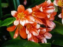 Детали натального цветка лилии Стоковое фото RF