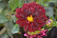 Детали одичалого фиолетового георгина цветут с бутонами Стоковое Изображение RF