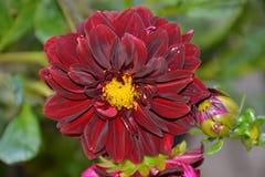 Детали одичалого фиолетового георгина цветут с бутонами Стоковая Фотография