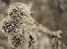Детали прибытия цветков зимы thistle стоковые фотографии rf
