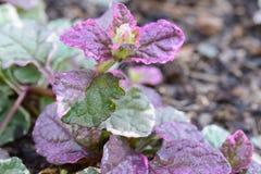 Детали пурпура и зеленого растения Стоковая Фотография RF