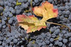 Детали собранных виноградин Стоковое фото RF