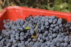 Детали собранных виноградин Стоковые Изображения RF