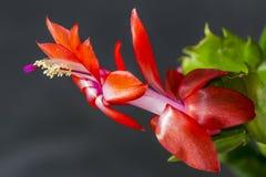Детали фокусируют штабелировать красивого оранжевокрасного двойного цветка Schlumbergera кактуса праздника стоковое фото
