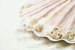 Детали Scallop океанские Стоковая Фотография