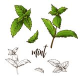 Детальное ретро изображение мяты Эскиз чернил изолированный на белой предпосылке Специя травы также вектор иллюстрации притяжки c иллюстрация вектора