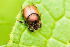 Детальное macrophotography черепашки жука проползая на зеленом le Стоковая Фотография RF