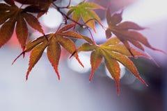 Детальные листья японского клена с красивым bokeh стоковое фото
