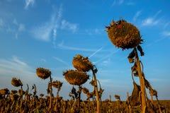 Детальные силуэты высушенного зрелого солнцецвета на поле стоковые изображения