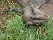 Детальный взгляд ящерицы в восточной Австралии Стоковое Фото