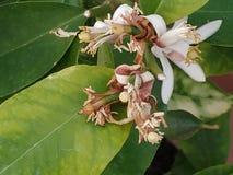 Детальный цветок дерева лимона стоковая фотография rf