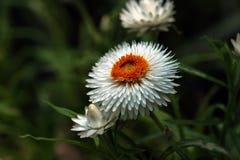 Деталь белого вековечного цветка или Strawflower или общей маргаритки & x28; Xerochrysum Bracteatum& x29; с расплывчатой зеленой  стоковая фотография rf