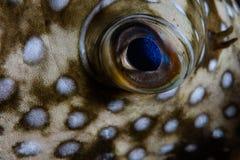 Деталь Бело-запятнанного глаза Pufferfish стоковое изображение
