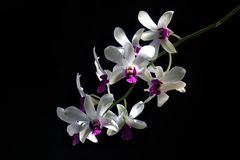 Деталь белых пурпурных орхидей Dendrodium с черными предпосылкой и естественным светом на лепестках цветка стоковые фото
