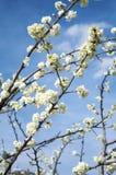 Деталь белых цветков миндального дерева Стоковые Изображения