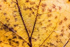 Деталь вен желтых лист Стоковые Фотографии RF