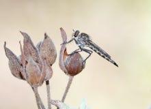 Деталь вида мухы Asilidae стоящая стоковые фотографии rf