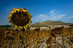 Деталь высушенного зрелого солнцецвета на поле стоковое фото