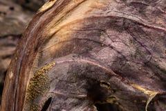 Деталь высушенных лист красной капусты Стоковое Фото
