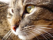 Деталь головы кота Кот tabby Стоковое Изображение