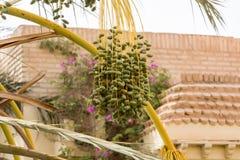 Деталь дат на пальме, Тунисе, Африке стоковое фото