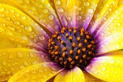 Деталь желтого Dimorphotheca spp ноготк накидки Цветок sunf Стоковые Фото