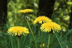 Деталь желтых цветений одуванчика в траве Стоковые Изображения