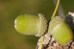 Деталь жолудя в полесье осени Стоковое Фото