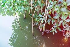 Деталь заводов мангровы в лагуне Marapendi, Barra da Tijuca, Рио-де-Жанейро Покрашенный светлый фильтр утечки прикладной Стоковые Фото