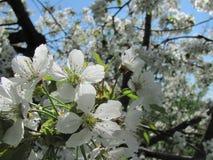 Деталь зацветая вишневого дерева Стоковое Фото