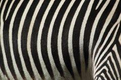 Деталь зебры Grevy Стоковые Фотографии RF