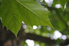 Деталь зеленого кленового листа Стоковые Изображения