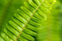 Деталь и макрос папоротника выходят, зеленеют запачканная предпосылка Стоковая Фотография