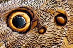 Деталь конца-вверх крыла бабочки Голубое Morpho, peleides Morpho, в среду обитания, Коста-Рика Крыло насекомого взгляда глаза стоковые фото