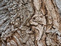 Деталь коры дерева хлопока стоковое фото rf