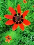 Деталь красивого красного цветка стоковая фотография rf