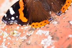 Деталь красного адмирала бабочки Стоковая Фотография