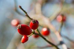 Деталь красных зрелых плодов шиповника стоковые фото