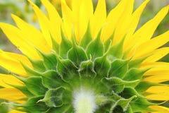 Деталь крупного плана солнцецвета Стоковая Фотография