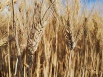 Деталь кукурузные початки стоковое фото rf