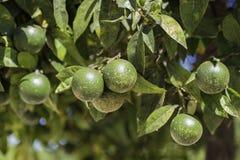 Деталь к зеленые апельсины стоковые изображения