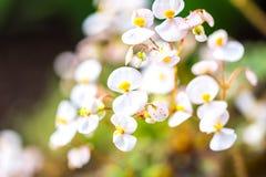Деталь малых белых цветений Свежее белое цветение на запачканной предпосылке Стоковое фото RF