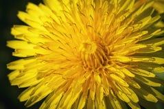Деталь на солнце цветка одуванчика Стоковые Фото
