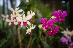 Деталь орхидеи в королевских садах Канди стоковые изображения