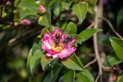 Деталь пары азиатских захватнических оос vespa-velutina оси собирая цветень от цветка стоковое изображение