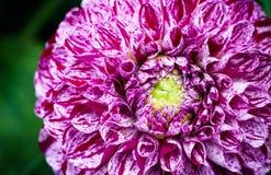 Деталь пинка и белизны запятнала фотографию макроса цветка георгина Стоковое Изображение